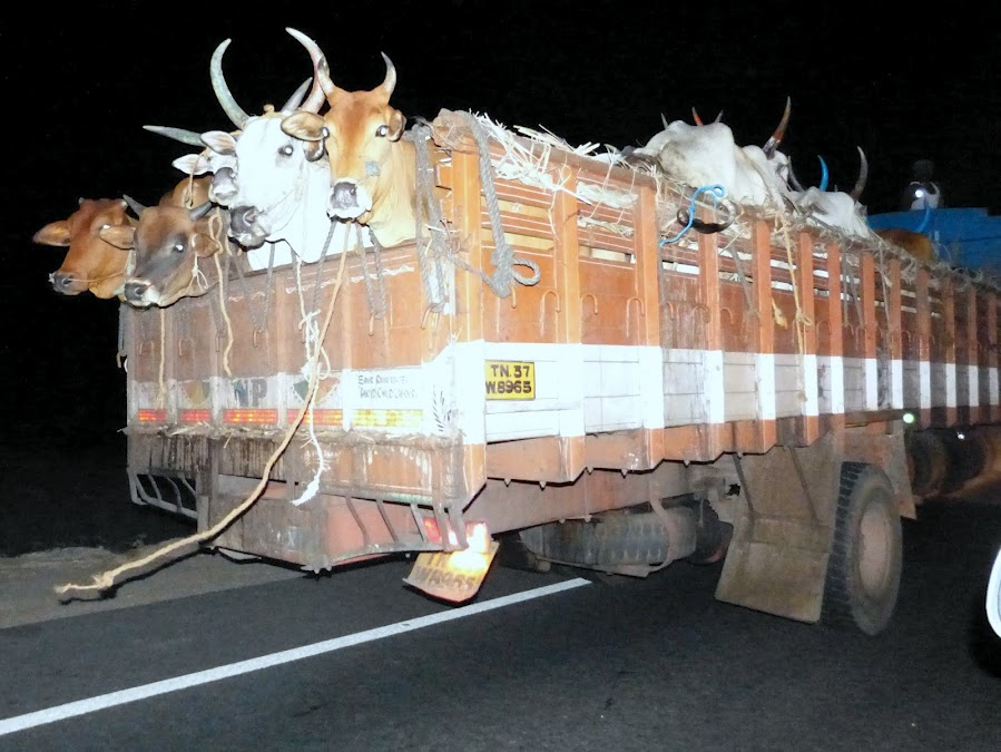 cattle-trafficking-3